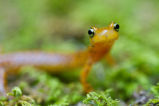 Close view of longtail salamander face
