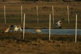 Five Whooping Cranes in pen at St. Marks National Wildlife Refuge