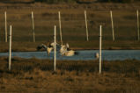 Three Whooping Cranes