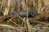 Side view of Alligator, sunning at St. Marks National Wildlife Refuge.