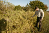 Wide shot of Buffle Grass, invasive species.