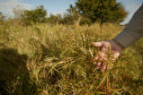Close shot of Buffle Grass, invasive species.