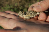 Texas horned Lizard.