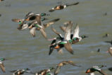 Northern Shoveler ducks flying.