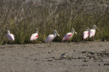 Spoonbills and shorebird.