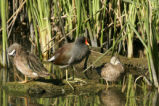 Moorhen in the middle