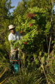 Worker eradicating Brazilian Pepper Plant