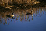 Canada geese on water