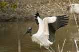 Wood stork spreads its wings.
