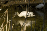 Wood stork forages for food