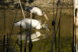 Wood stork pair forage for food
