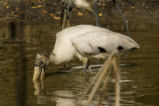 Wood stork wades in search of a meal.