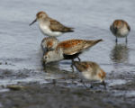 Dunlin and Western Sandpipers047