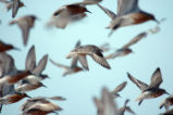 Red Knots in Flight