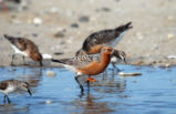 Red Knot in Water