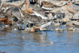 Red Knots in the Water