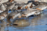 Red Knots and Horseshoe Crab in Water