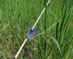 Endangered Fender's Blue Butterfly