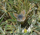 Mission Blue butterfly- Female