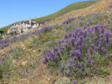Lupines-Mission blue butterfly habitat