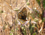 Callippe Silverspot butterfly