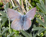 Mission Blue Butterfly_Male