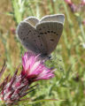 Mission Blue Butterfly_Female