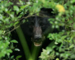 Black bear in the bushes